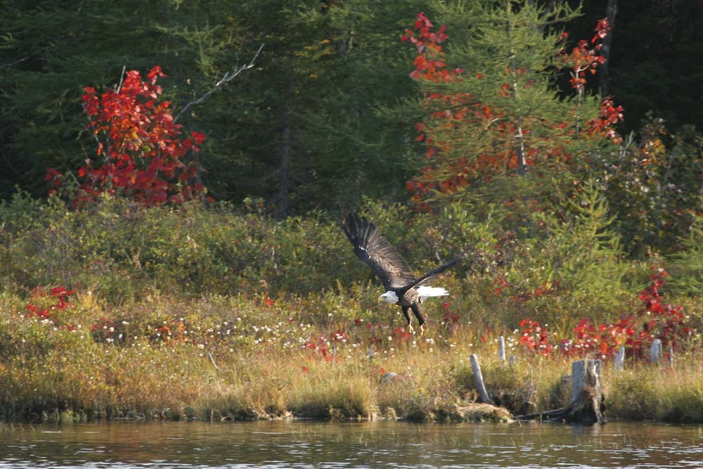 <div style='text-align: center;'>Wei&szlig;kopfseeadler am Fluss (Nova Scotia - Kanada 2005)</div>